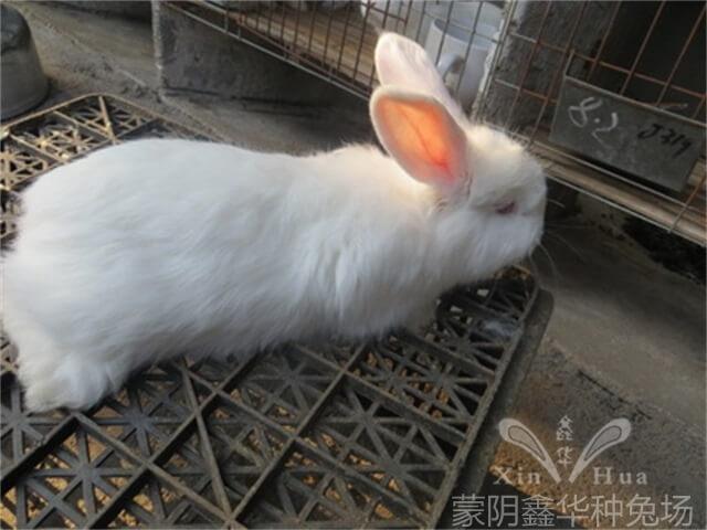 优质长毛种兔