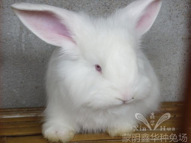 长毛兔养殖