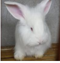 怎么产出更优质的兔毛?