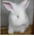 长毛兔屁股上的毛定时修剪的必要性?