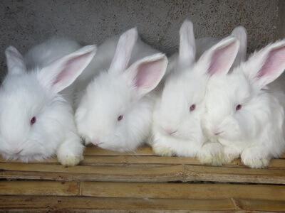 安哥拉兔怎么催毛提升产量?