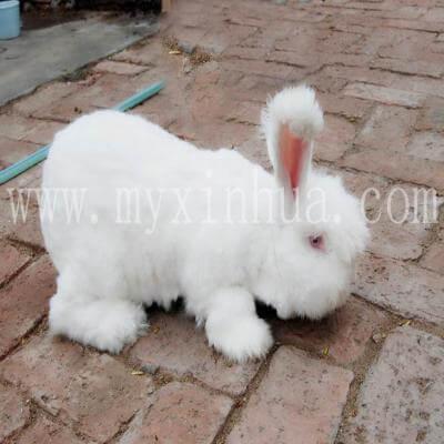 哪些青草是有利于蒙阴长毛兔繁殖呢?