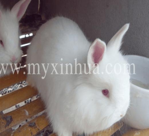 长毛兔养殖对光的严格要求?