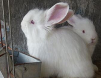 如何养殖长毛兔可以获得高产?
