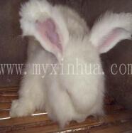 长毛兔饲养中存在哪些问题大家知道吗