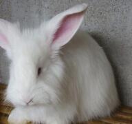 如何预防蒙阴长毛兔饲料霉变?