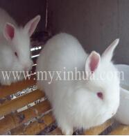用青饲料喂养长毛兔,有利于长毛兔的生长和繁殖