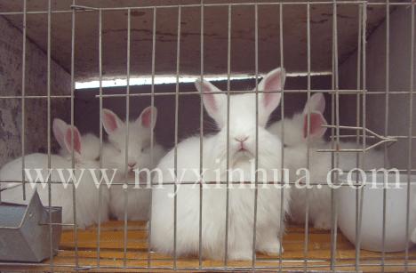 长毛兔养殖过程中需要注意的细节