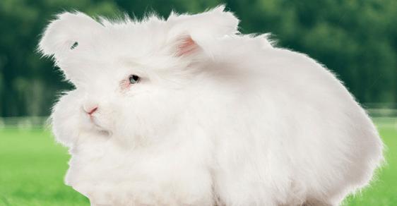 长毛兔夏季饲养管理要点你清楚吗?