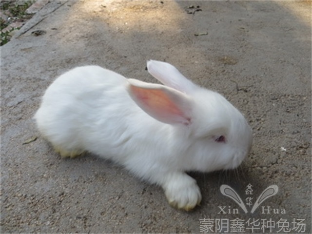 安哥拉长毛兔剪毛的方法及流程!