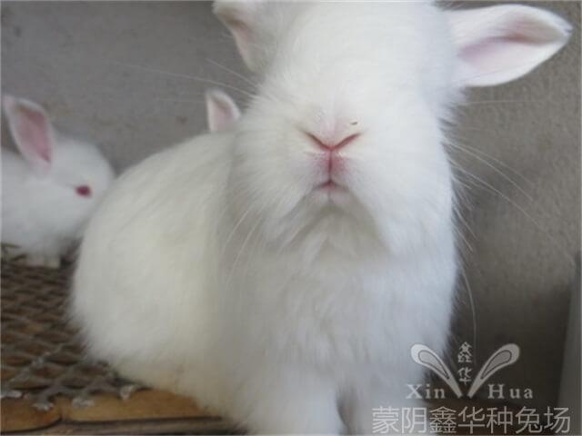 安哥拉兔的的养殖护理方法?