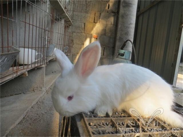 安哥拉母兔怀孕有哪些表现?