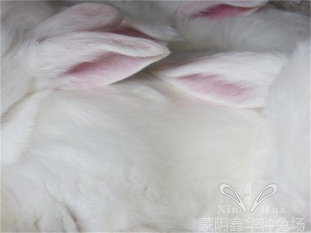 关于长毛兔兔毛生长的规律与特点!